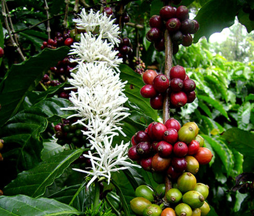Coffee Arabian Non GMO Seeds - Coffea Arabica Nana