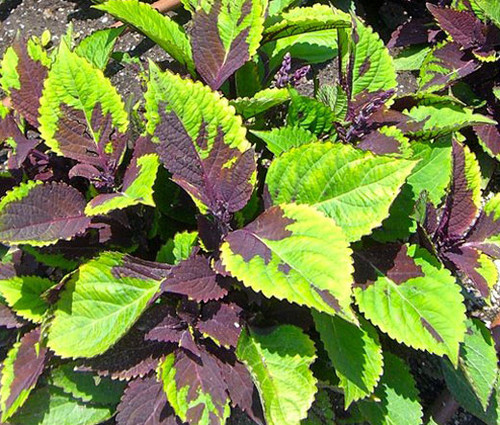 Coleus Chocolate Splash Seeds - Solenostemon Scutellarioides