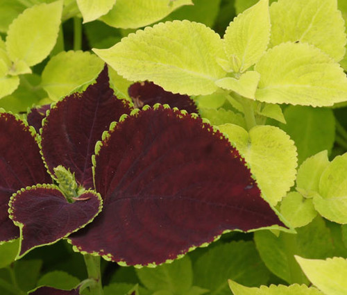 Coleus Fuseables Chocolate Symphony Seeds - Solenostemon Scutellarioides