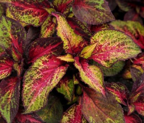 Coleus Versa Rose to Lime Seeds - Solenostemon Scutellarioides