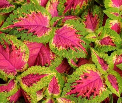 Coleus Versa Watermelon Seeds - Solenostemon Scutellarioides