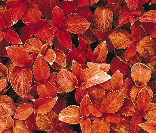 Coleus Wizard Sunset Seeds - Solenostemon Scutellarioides
