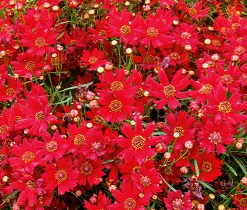Coreopsis Red Dwarf Seeds - Coreopsis Tinctoria
