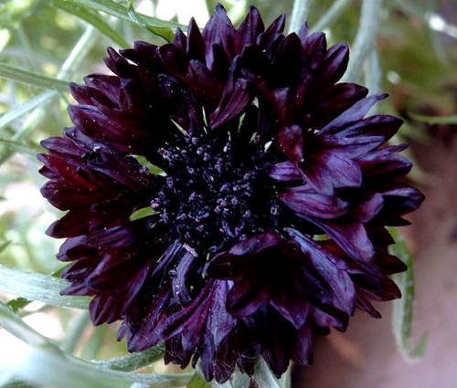 Cornflower Bachelor's Button Black Ball Seeds - Centaurea Cyanus