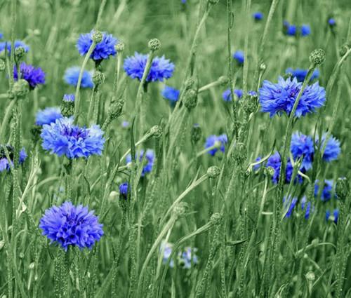 Cornflower Bachelor's Button Blue Tall Seeds - Centaurea Cyanus 2