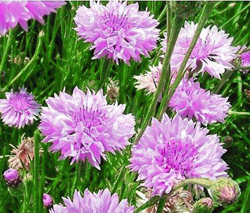 Cornflower Bachelor's Button Mauve Seeds - Centaurea Cyanus
