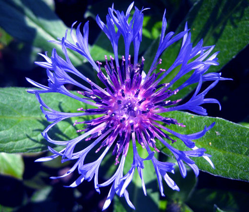 Cornflower Perennial Mountain Bluet Seeds - Centaurea Montana