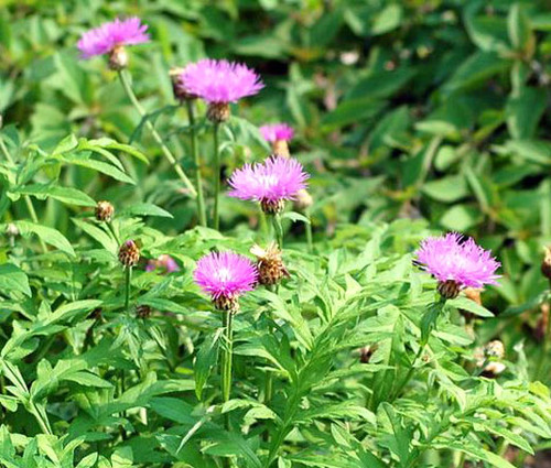 Cornflower Perennial Persian Seeds - Centaurea Dealbata 2
