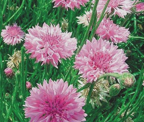 Cornflower Bachelor's Button Pink Tall Seeds - Centaurea Cyanus