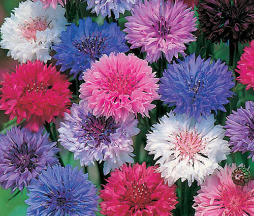 Cornflower Bachelor's Button Polka Dot Mix Dwarf Seeds - Centaurea Cyanus