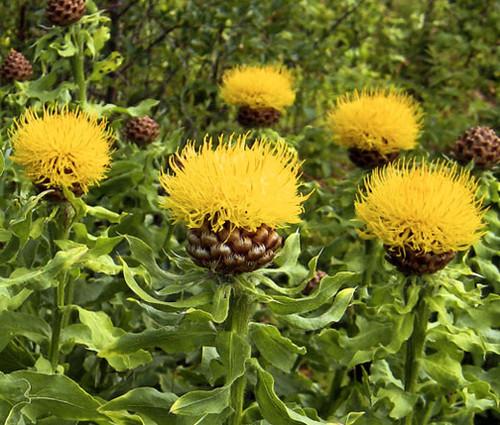 Cornflower Perennial Yellow Globe Seeds - Centaurea Macrocephala