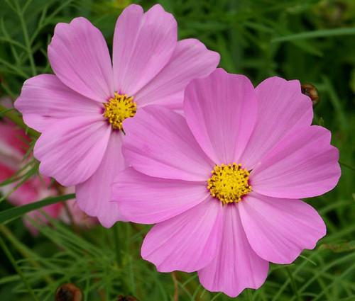 Cosmos Sonata Pink Dwarf Seeds - Cosmos Bipinnatus