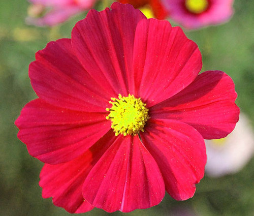 Cosmos Sonata Red Dwarf Seeds - Cosmos Bipinnatus