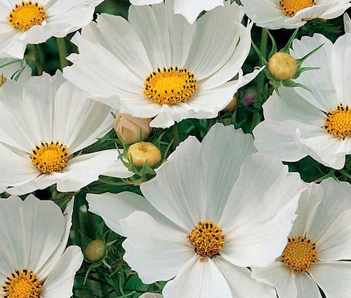 Cosmos Sonata White Dwarf Seeds - Cosmos Bipinnatus
