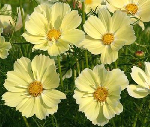 Cosmos Sonata Yellow Seeds - Cosmos Bipinnatus