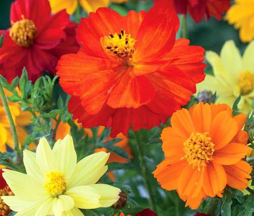Cosmos Sulphur Ladybird Mix Dwarf Seeds - Cosmos Sulphureus