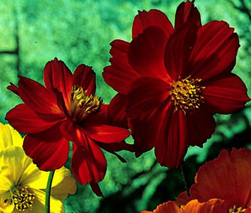 Cosmos Sulphur Ladybird Red Dwarf Seeds - Cosmos Sulphureus