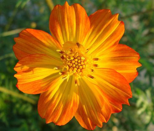 Cosmos Sulphur Orange Seeds - Cosmos Sulphureus