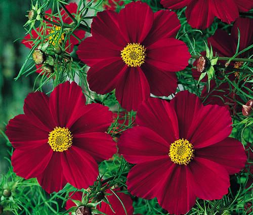 Cosmos Tetra Versailles Red Seeds - Cosmos Bipinnatus