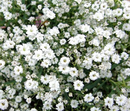 Creeping Baby's Breath Seeds - Gypsophila Repens Alba
