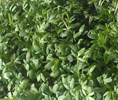 Cress Curled Peppergrass Non GMO Seeds - Lepidium Sativum