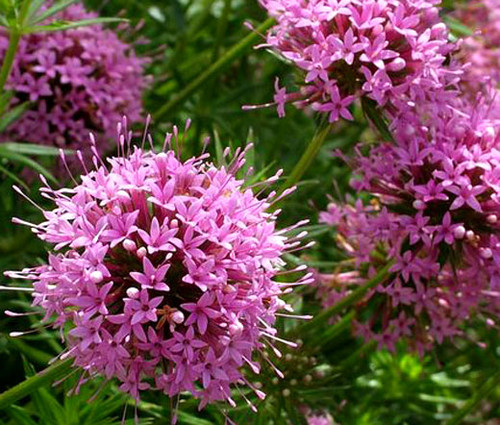 Crosswort Pretty Pink Seeds - Crucianella Phuopsis Stylosa