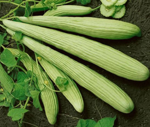 Cucumber Burpless Armenian Yard Long Non GMO Seeds - Cucumis Melo