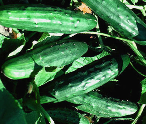 Cucumber Spacemaster Organic Seeds - Cucumis Sativus