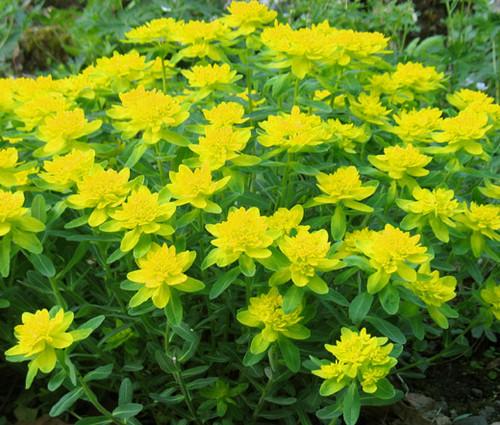 Cushion Spurge Seeds - Euphorbia Polychroma