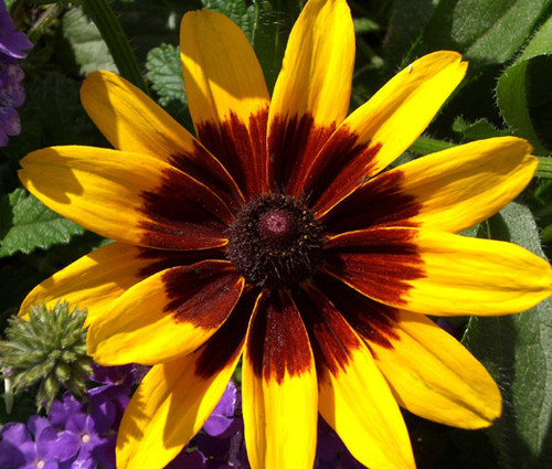 Daisy Gloriosa Sunset Seeds - Rudbeckia Hirta