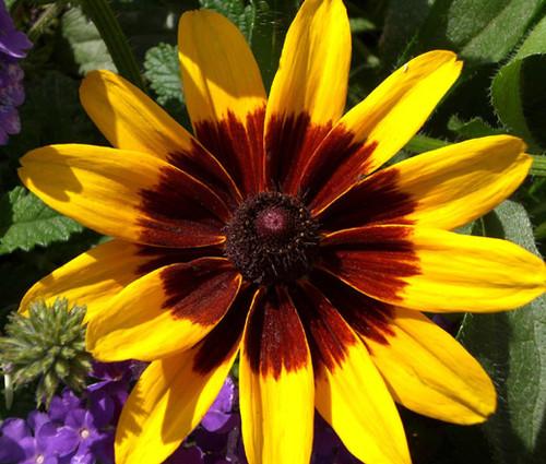 Daisy Gloriosa Sunset Seeds - Rudbeckia Hirta