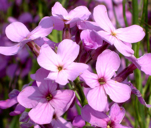 Dames Rocket Seeds - Hesperis Matronalis