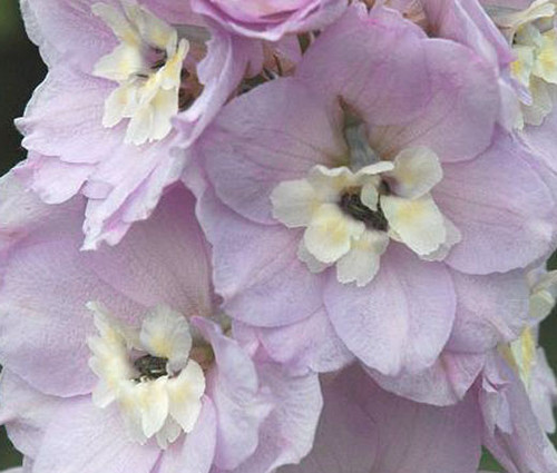 Delphinium Guinevere Seeds - Delphinium Cultorum