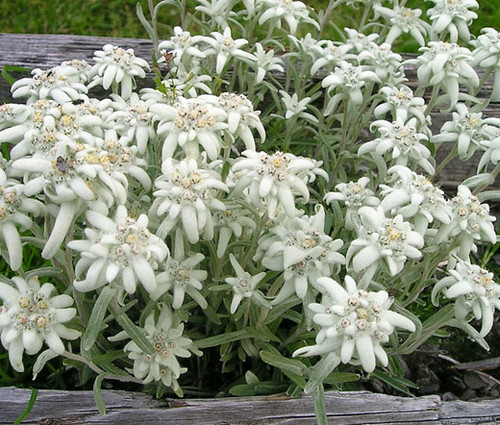 Edelweiss Non GMO Seeds - Leontopodium Alpinum