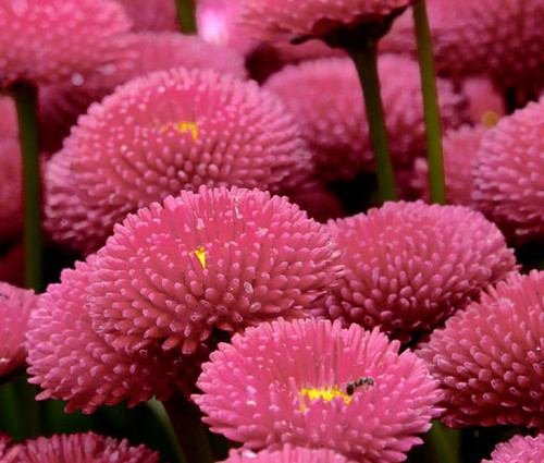 English Daisy Rose Seeds - Bellis Perennis Super Enorma