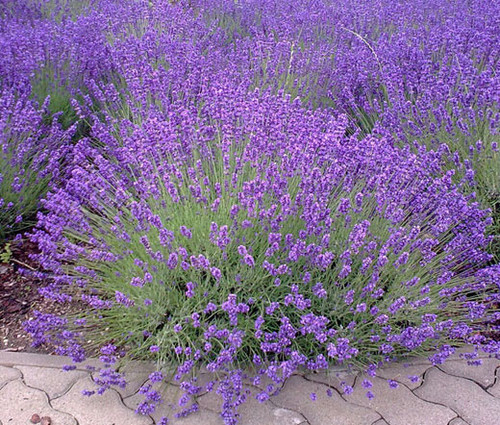 English Lavender Non GMO Seeds - Lavandula Angustifolia