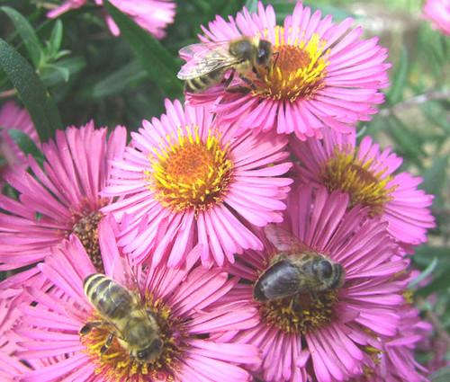 Erigeron Pink Jewel Seeds - Erigeron Speciosus