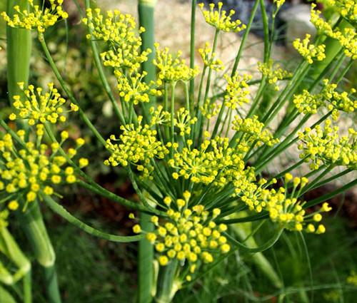 Fennel Florence Organic Seeds - Anise Foeniculum Vulgare