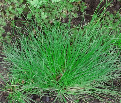Fiber Optic Grass Seeds - Isolepis Cernua