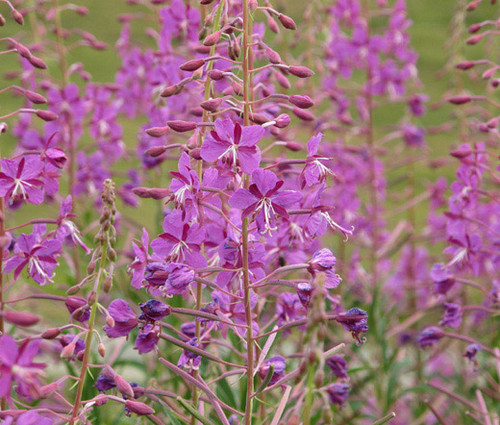 Fireweed Non GMO Seeds - Epilobium Angustifolium