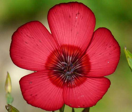 Flax Scarlet Red Non GMO Seeds - Linum Grandiflorum Rubrum