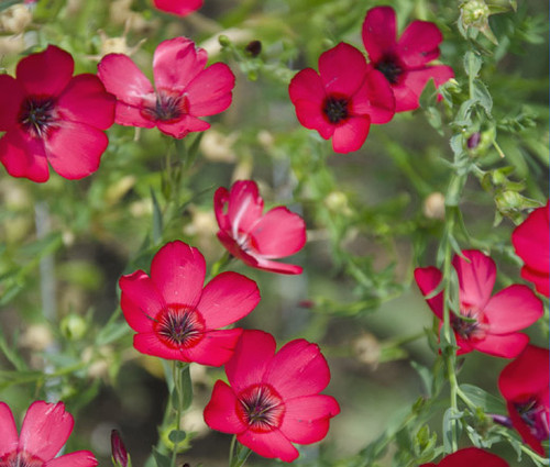 Flax Scarlet Red Non GMO Seeds - Linum Grandiflorum Rubrum 2