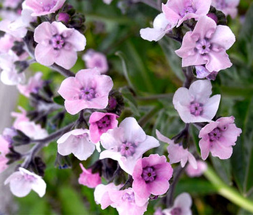 Forget Me Not Chinese Pink Seeds - Cynoglossum Amabile