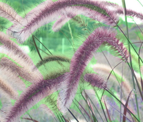 Fountain Grass Rose Pink Seeds - Pennisetum Ruppelii