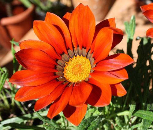 Gazania Garden Leader Bronze Seeds - Gazania Rigens