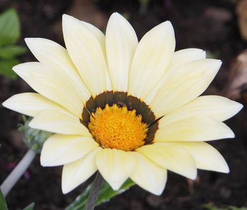 Gazania Garden Leader White Seeds - Gazania Rigens