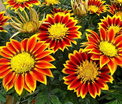 Gazania Kiss Golden Flame Seeds - Gazania Rigens