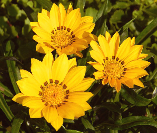 Gazania Kiss Golden Yellow Seeds - Gazania Rigens