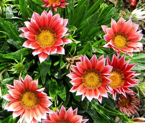 Gazania Kiss Rose Seeds - Gazania Rigens