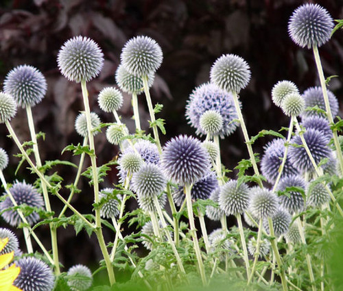 Globe Thistle Blue Seeds - Echinops Ritro